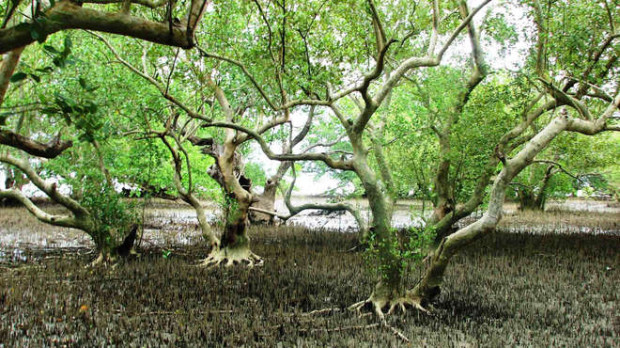 blog-2_mangrove-forest-at-low-tide-barangay-pedada-ajuy-iloilo-philippines-zsl-philippines-c